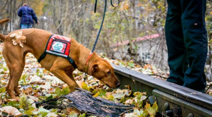 dogs tracking invasive spotted